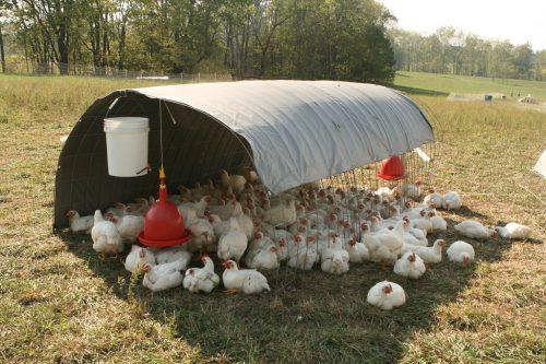 Chickens_seeking_shade