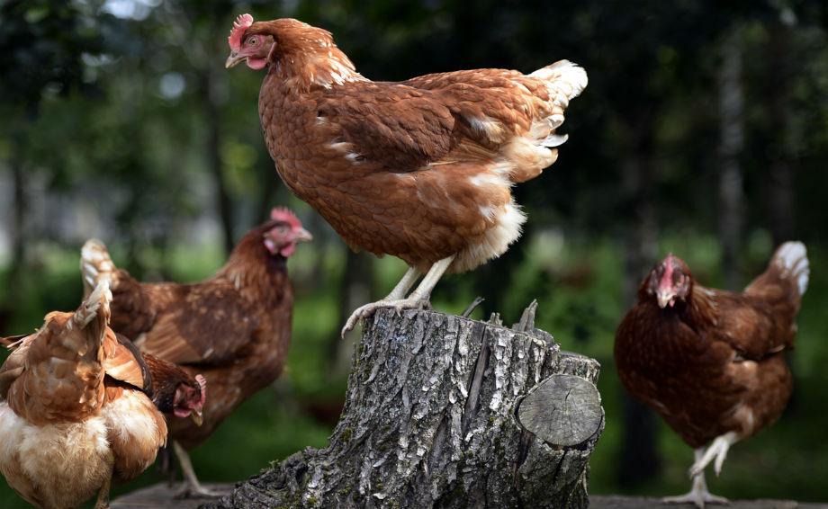 Sainsbury's free range hens